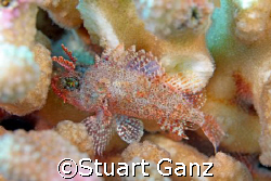 Dwaft scorpionfish - Taken with 20D F4 1/60. by Stuart Ganz 